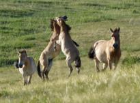 przewalski horses mongolia 2013 blashford snelll